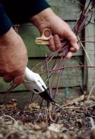 Pruning Clematis 'Arabella'. Prune these Group 3 Clematis stems immediately above these buds. Remove and burn all the growths.
