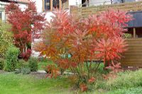 Rhus typhina - Stag's Horn Sumach in autumn