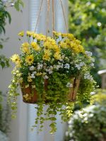 Hanging basket of Osteospermum Springstar 'Big Yellow', Nemesia Sunsatia 'Anona' and  'Citron', Lysimachia nummularia 'Goldilocks'
