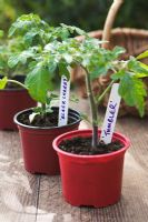 Tomato seedlings 'Tumbler' and 'Black Cherry' with plant labels