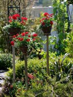 Baskets on wooden posts with Pelargonium zonale 'Schone von Rheinberg' and Bacopa copa 'Creamwhite'