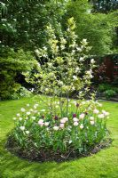 Magnolia underplanted with tulips in circular bed in lawn