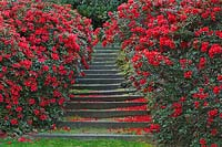 Valley Gardens, Virginia Water. Steps lined by Rhododendron