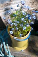 Myosotis in plastic seaside bucket