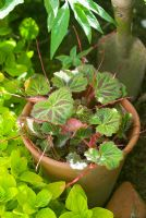 Saxifraga sarmentosa - Strawberry Begonia in pot
