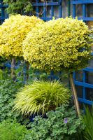 Hakonechloa macra 'Aureola' and Euonymus fortunei 'Emerald 'n' Gold' in border