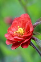 Geum rivale 'Leonard's Variety' in May