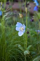 Meconopsis betonicifolia with Stipa tenuissima in Kebony - Naturally Norway Garden, Silver Gilt medal winner, RHS Chelsea Flower Show 2010