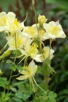Aquilegia vulgaris 'Winky'.  The Naturally Fashionable Garden, Silver Medal winner, RHS Chelsea Flower Show 2010