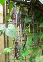 Purple podded climbing beans 'Trionfo Violetta' growing on a recycled sofa bed frame