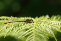 Pyrrhosoma nymphula -  Large red Damselfly sitting on fern frond