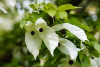 Davidia involucrata - Handkerchief tree, Dove tree, Ghost tree