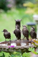 Sturnus vulgaris - Fledged juvenile Starlings drinking from a birdbath in the garden