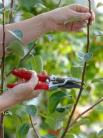 Pyrus - Pruning a pear tree