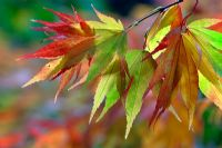 Acer palmatum. Autumn foliage backlit in October