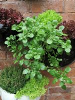 Nasturtium officinale 'Aqua' - Watercress growing in glazed wall pot with red and green leaved Lettuce and Thymus vulgaris - Common Thyme