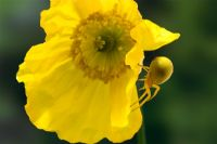 Misumena vatia - Crab spider female on Welsh Poppy