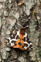 Arctia caja - Garden Tiger Moth. Sussex, UK