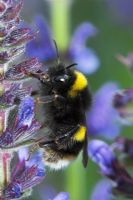 Bombus terrestris - Buff tailed bumblebee on Salvia flower