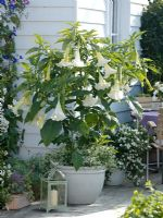 Datura syn. Brugmansia aborea underplanted with Euphorbia 'Diamond Frost' and Solanum rantonnetii syn. Lycianthes in smaller pot in background