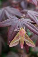 Deilephila elpenor - Elephant Hawk Moth, on Acer, Sussex, UK