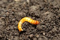 Wireworm, larva of the Click Beetle, feeds on roots, corms, tubers and stems of many plants