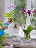 Woman spraying Phalaenopsis and Drendrobium - Orchid roots with water