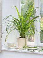 Cymbopogon citratus on windowsill