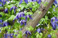 Clematis alpina 'Pamela Jackman'. Brickwall Cottages, Frittenden, Kent