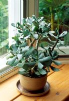 Crassula ovata - Jade plant on window ledge