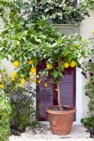 Citrus in container - Much Ado About Nothing, Silver Gilt medal winner at RHS Hampton Court Flower Show 2010