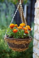 Tagetes - Marigolds in a hanging basket
