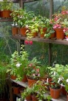 A variety of Fuschia growing in pots on shelves in a greenhouse