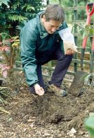 Planting Maonia - Loosen the soil in the base and sides of the planting hole with a digging fork to allow roots to penetrate and water to drain. Spread a layer of old farmyard manure in the base and add bonemeal fertilizer