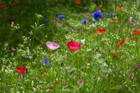 Naturalised planting of Centaurea cyanus and Papaver a wildflower meadow