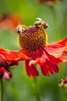Helenium 'Moerheim Beauty' and Bumble Bees