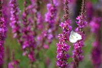 Lythrum salicaria 'Lady Sackville' and Pieris brassicae - Large White Butterfly