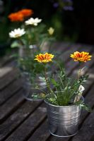 Gazania 'Mixed Hybrid' in little metal tubs