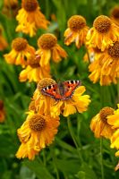 Helenium and Small Tortoiseshell Butterfly
