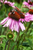 Echinacea purpurea 'Rubinstern' with a Bumble bee and a Peacock butterfly