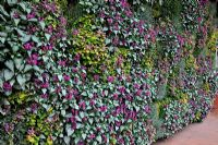 A wall of Lamium cultivars at RHS Wisley