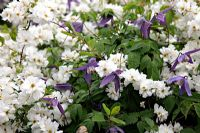 Exochorda x macrantha 'The Bride' AGM with Clematis alpina