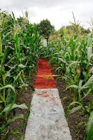 Red and white carpet path between Zea mays - Maize crop on allotment