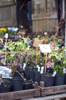 Hellebores for sale at nursery