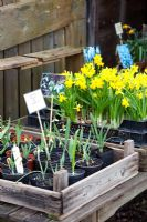 Flowering bulbs including Narcissus and Galanthus for sale at nursery