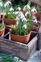 Galanthus nivalis - Snowdrops displayed in small terracotta pots