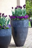 Tulipa and Viola in tall containers