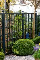 Clipped Buxus - Box ball backed by black painted trellis