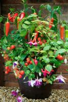 Tomato 'Minibel' with Capsicum - Pepper 'Hungarian Hot Wax', new Fuchsia 'Quasar Giant' and a variegated Fuchsia in a brown glazed pot