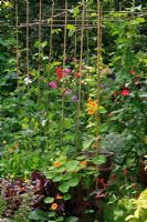 Bamboo cane pergola planted with mixed varieties of Runner bean, Lathyrus - Sweet peas and Tropaeolum - Nasturtiums